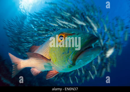 Red Snapper, Lutjanus bohar, Great Barrier Reef, Australia - Stock Photo