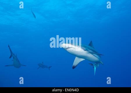 Grey Reef Shark, Carcharhinus amblyrhynchos, Osprey Reef, Coral Sea, Australia - Stock Photo