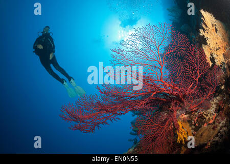 Scuba Diver over Coral Reef, Osprey Reef, Coral Sea, Australia - Stock Photo