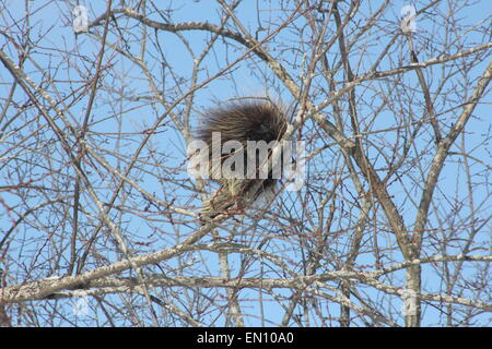 North American Porcupine (Erethizon dorsatum) on a  tree branch. Porcupines are rodents with a coat of sharp spines, - Stock Photo