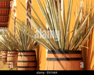 Agave americana ( tequila ingredient ) in solid wooden barrels - Stock Photo