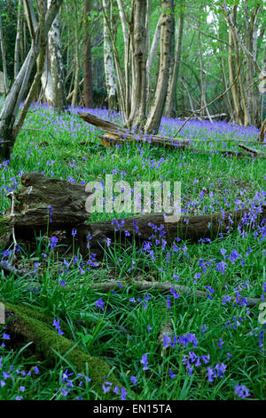 Spring English Bluebells in beech woodland near Turners Hill in West Sussex - Stock Photo