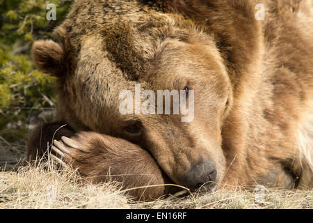 Grizzly Bear (Ursus arctos horribilis) taking a rest during the day - Stock Photo
