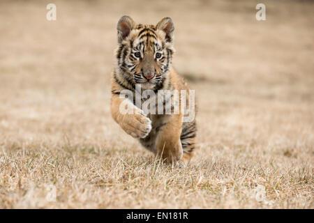 Siberian Tiger (Panthera Tigris Altaica) cub running through the grass - Stock Photo