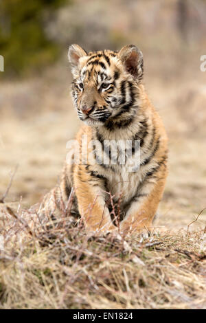 Siberian Tiger (Panthera Tigris Altaica) cub resting - Stock Photo