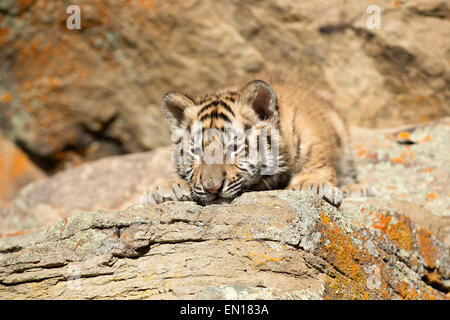 Siberian Tiger (Panthera Tigris Altaica) cub resting and sleeping on a rock - Stock Photo