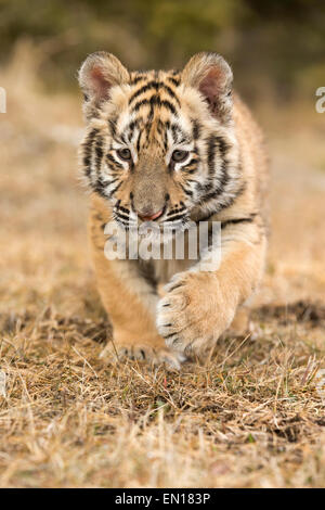 Siberian Tiger (Panthera Tigris Altaica) cub learning to stalk through the grass - Stock Photo