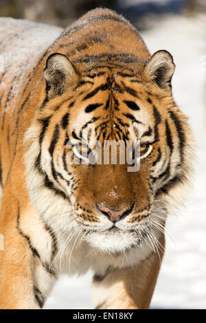 Siberian Tiger (Panthera Tigris Altaica) adult portrait in the snow - Stock Photo