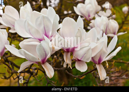 Pink magnolia flowers on a tree branch. - Stock Photo
