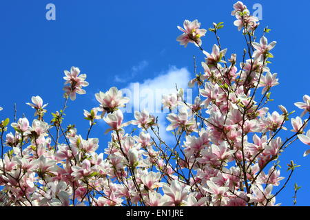 Shining magnolia on a sunny day - Stock Photo