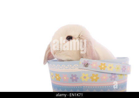 White mini lop bunny rabbit in blue easter basket isolated on white background - Stock Photo