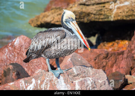 Brown pelican standing on colorful rocks in Paracas, Peru - Stock Photo