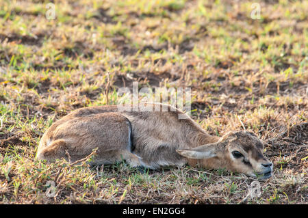 Thomson's Gazelle Fawn, Eudorcas thomsonii , Lying flat, motionless, camouflaged, Masai Mara National Reserve, Kenya, - Stock Photo