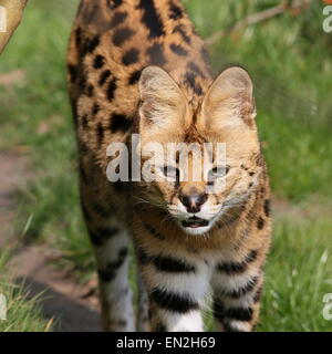 Wary African Serval (Leptailurus serval) in a natural grassy setting - Stock Photo