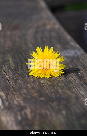 Taraxacum officinale. Dandelion flower head on the arm of a wooden bench. - Stock Photo