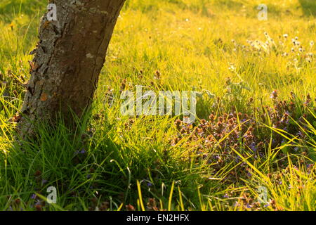 Tree trunk in a sunlit English meadow with herbs and wild flowers. - Stock Photo