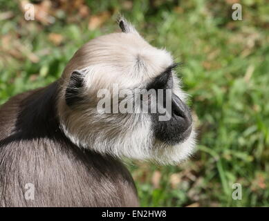 Indian Northern plains grey langur (Semnopithecus entellus), closeup of the head - Stock Photo