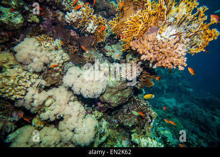 Red sea coral reef - Stock Photo