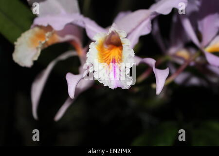 Orchidaceae, Orchid flower. - Stock Photo