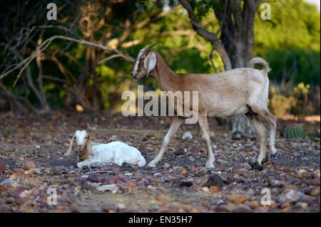 Female goat and goatling, Goat (Capra hircus aegagrus), Bahia, Brazil - Stock Photo