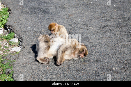 Barbary macaque apes, Macaca sylvanus, Gibraltar, British terroritory in southern Europe - Stock Photo
