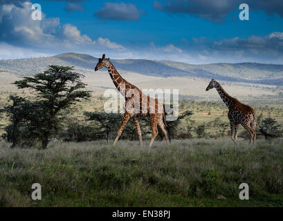 The reticulated giraffe also known as the Somali giraffe, is native to Somalia, southern Ethiopia, and northern - Stock Photo