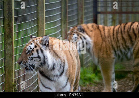 Port Lympne, Kent, UK. 25 apr 2015, Tigers wait eagerly as keepers hang meat in their enclosure Credit:  darren - Stock Photo