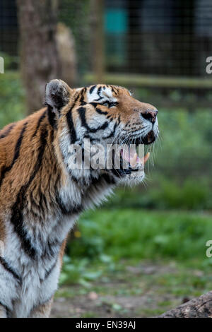 Port Lympne, Kent, UK. 25 apr 2015, Tigers at the reserve only get feed once every 2 weeks on average, this is similar - Stock Photo