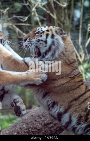 Port lympne, kent, uk, 25 apr 2015, Tigers fightover food as they only get feed once every 2 weeks on average, this - Stock Photo