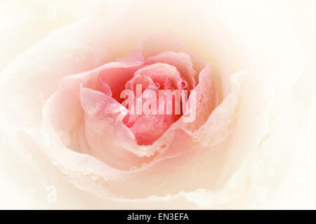 Close-up shot of a rose bud with water drops on petals - Stock Photo