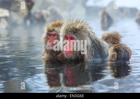 Snow monkeys in a natural onsen (hot spring), located in Jigokudani Park, Yudanaka. Nagano Japan. - Stock Photo