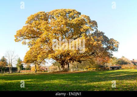 Orange brown sweet chestnut  tree, Castanea saliva, autumn leaves Woodborough, Wiltshire, England, UK - Stock Photo