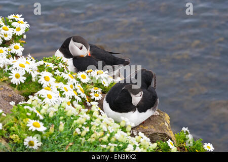 Atlantic puffin pair rests on cliffs covered with daisies at wild Latrabjarg Cliffs, Europe's largest bird cliffs. - Stock Photo
