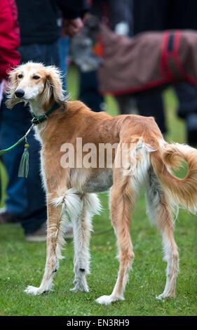 Greyhound dogs of various breeds are taking part at the  'Internationalen Windhundrennen' (International Greyhound - Stock Photo