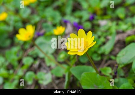 Lesser celandine flower in early spring garden. - Stock Photo