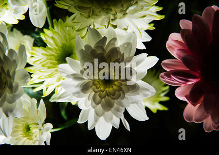 Back lit dahlias with a pink daisy on the side. - Stock Photo