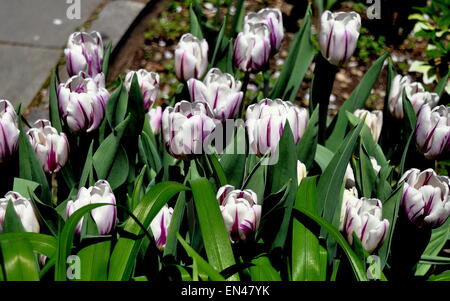 New York City:  Tulips at peak bloom in the West 89th Street Community Garden - Stock Photo
