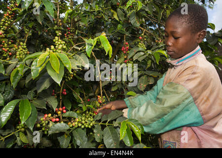 crisis in the kenya coffee industry Sadly, the coffee board of kenya — which is the regulator — has failed in all its roles and responsibilities of guiding the industry through prudent policy formulation and promoting kenyan.
