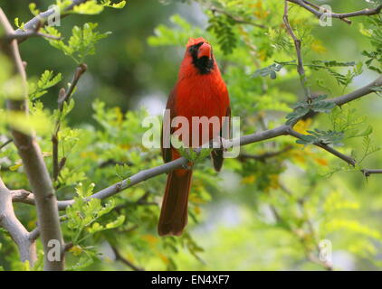 Male Northern or Red Cardinal (Cardinalis cardinalis) in a tree, facing camera - Stock Photo
