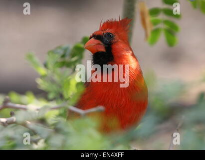 Male Northern or Red Cardinal (Cardinalis cardinalis) - Stock Photo
