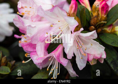 Spring flowers of the dwarf Rhododendron 'Ginny Gee' - Stock Photo