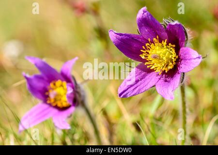 Pasque flower (Pulsatilla vulgaris). Also known as  pasqueflower, common pasque flower or Dane's blood. Here seen - Stock Photo