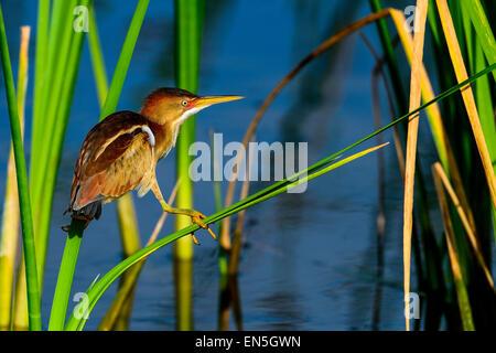least bittern, viera wetlands - Stock Photo