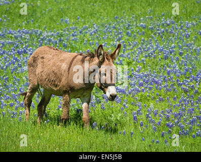 Donkey grazing on bluebonnet pasture in Texas spring - Stock Photo