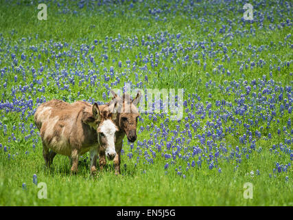 Two donkeys grazing on bluebonnet pasture in Texas spring - Stock Photo