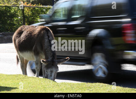 Donkey by the roadside in Beaulieu in the New Forest Hampshire UK - Stock Photo