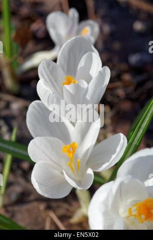 White crocus Crocus heuffelianus flower spring bloom close up - Stock Photo