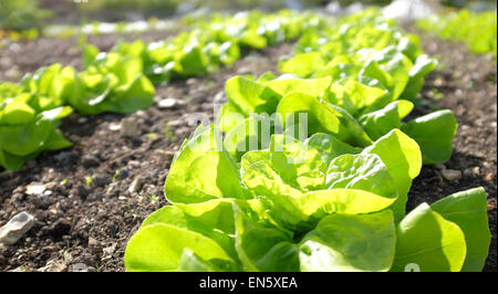 Winter Density Lettuce growing in rows on an allotment - Stock Photo