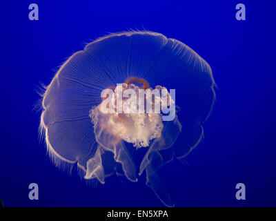 Close view on the delicate natural beauty of a Moon Jellyfish in Monterey Aquarium California USA - Stock Photo