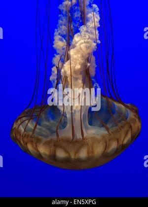 Sea nettle jellyfish (Chrysaora fuscescens)  slowly drifting and pulsing in Monterey Aquarium California USA - Stock Photo